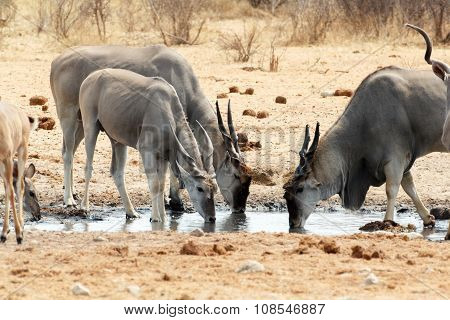 Herd Of Eland Drinking From Waterhole