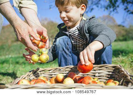 Kid and senior man hands putting apples in basket