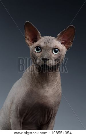 Closeup Portrait Of Sphynx Cat Looking In Camera On Dark