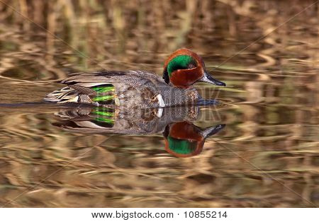Green Winged Teal Reflections