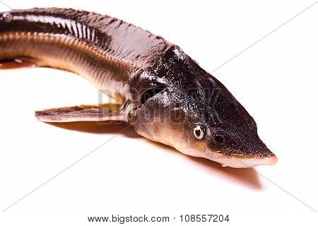 Close Up View Of The Sterlet Fish Isolated On White. Sterlet Is A Small Sturgeon.