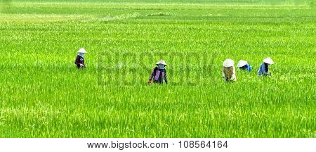 Farmer woman picking grass on the rice fields