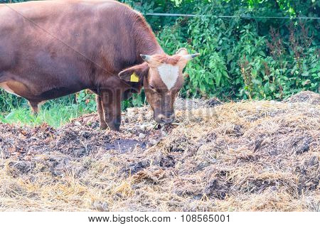 Breeding Bull With Eartag