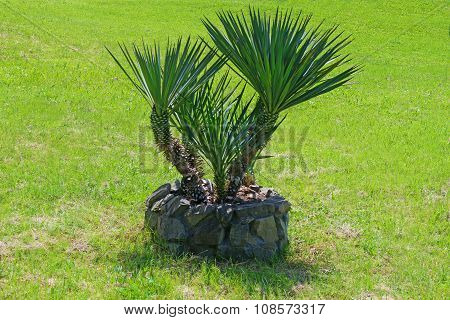 Palm yucca in field