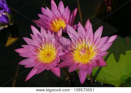 Pink lotus flowers, beautiful yellow stamens 3 bath.
