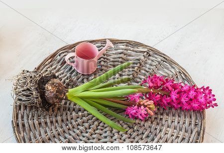 Pink Hyacinth And Decorative Watering Can