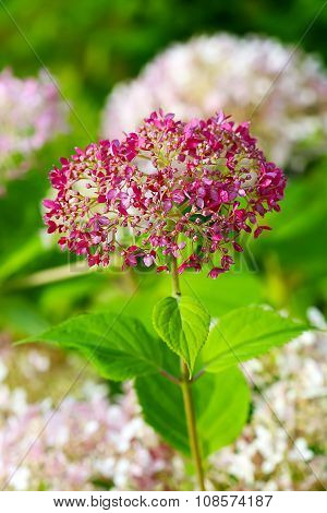 Flowering Bush Hydrangea