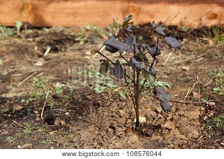 Little Young Physocarpus Bush
