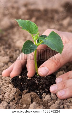 Hand With Cucumber Seedling