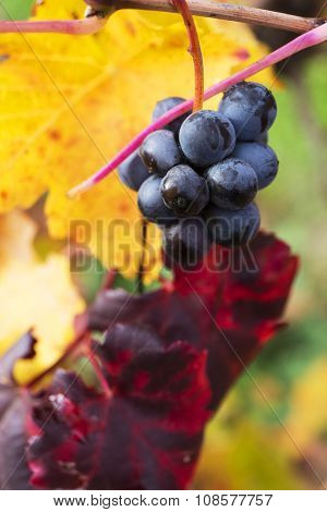 Grape Closeup In Autumn With Red And Yellow Leaves