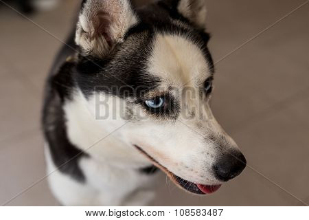 Closeup Of Husky Dog Head