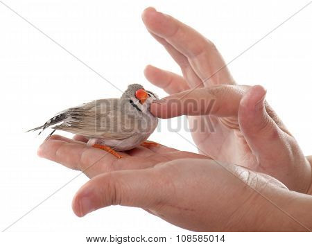 Stroking Female Zebra Finch