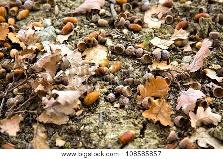 Oaken Leaves And Acorns. Close-up. Lying On The Ground