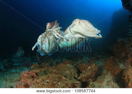 Pharaoh Cuttlefish mating and fighting
