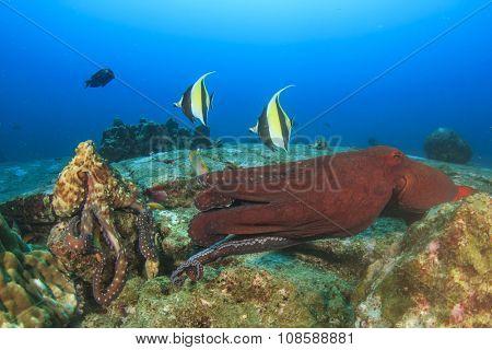 Pair Octopus mating