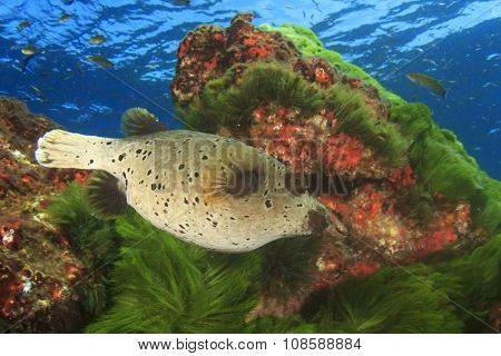 Blackspotte Pufferfish