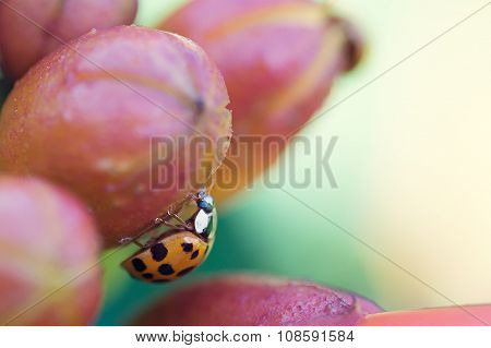 Beetle on a Berry
