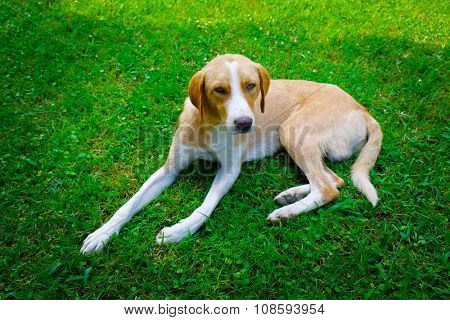 Stray dog lying on green grass