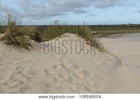 Lyme Grass In The Sand Dune