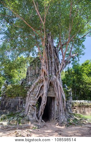 Banyan Trees Growing On The Entrance To Ta Prohm  Temple
