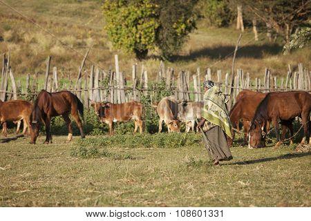 OROMIA, ETHIOPIA-NOVEMBER 6, 2014: An unidentified farm woman walks past her herds in early morning in Oromia, Ethiopia