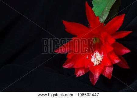 Epiphyllum Large Flower On A Background Of Black Cloth