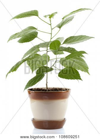 House Plant in brown flower pot isolated on white background