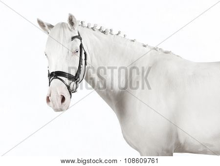 Isolated White Pony