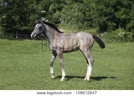 Grey Foal With Halters