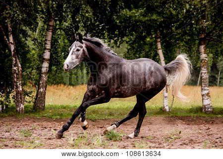 Happy Gray Horse Running Free In Summer