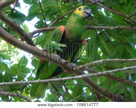 Brazilian parrot (Amazona aestiva)