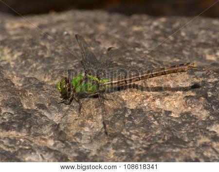 Rusty Snaketail