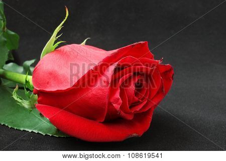 Close Bud Scarlet Roses