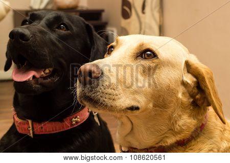 Labrador's