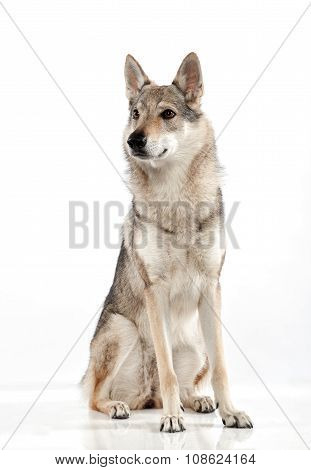 Czechoslovakian Wolfdog With An Alert Expression