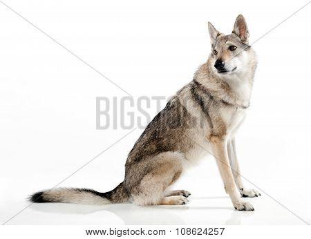 Czechoslovakian Wolfdog Sitting Looking Back