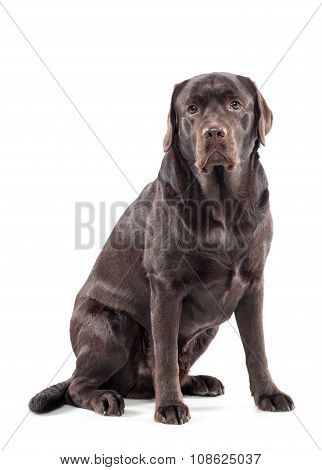 Big Gentle Chocolate Labrador Retriever