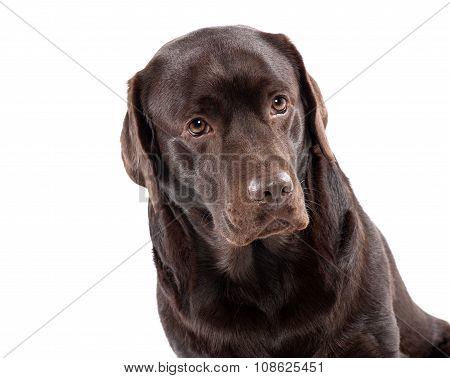 Lovely Chocolate Labrador