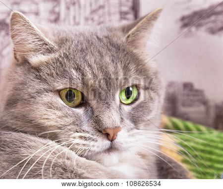 Muzzle Of A Gray Cat With Green Eyes Close Up