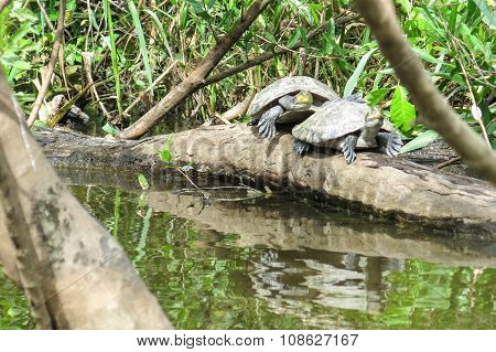 Turtles In The Yacuma River