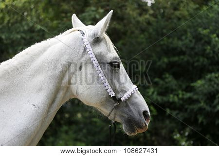 Portrait Of A Grey Colored Arabian Mare