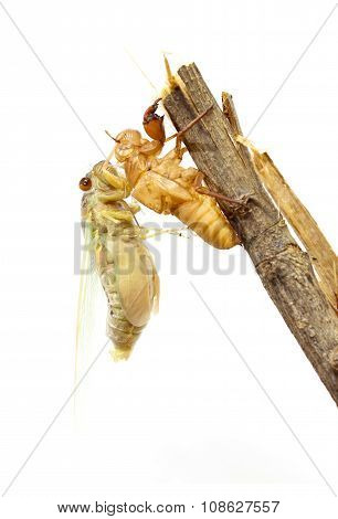 Cicada Changing Its Skin