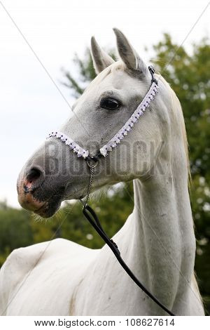 Side View Portrait Of A Purebred Young Arabian Horse