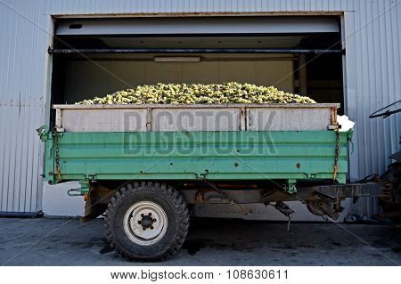 Trailer Full Of White Grapes After Harvest