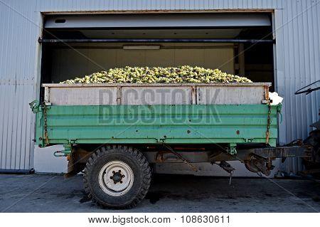 Trailer Full Of White Grapes After Harvest