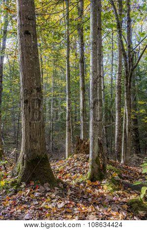 Autumn Forest - Algonquin Provincial Park, Ontario, Canada