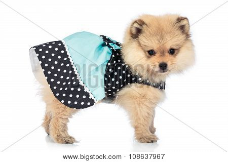Portrait Of Cute Pomeranian Puppy With Dress Isolated On White