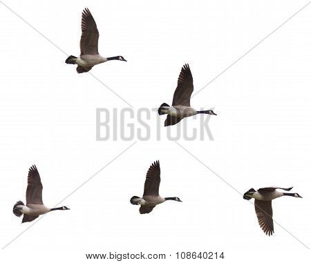 Canada Geese Flying On A White Background