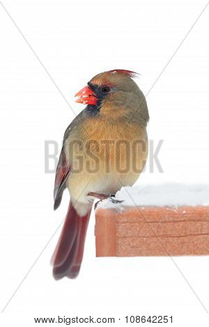 Cardinal On A Feeder - Isolated On White