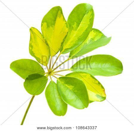 Variegated Leaf Of Schefflera Arboricola